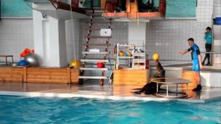 Морская львица Даша  Баланс с мячом