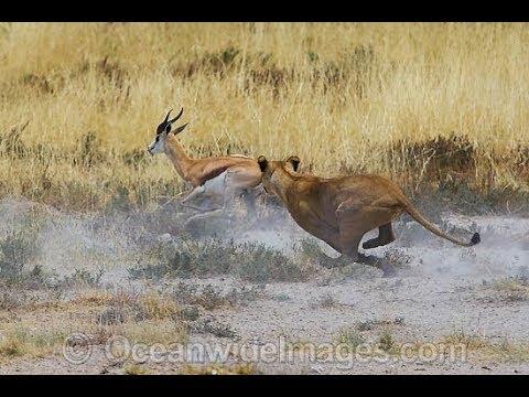 Lion Hunt Gazelle – Animal Kingdom | Lion Attack | Wild Life