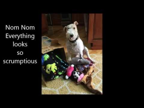 FELIX the Wire Fox Terrier gets Package from Sophie