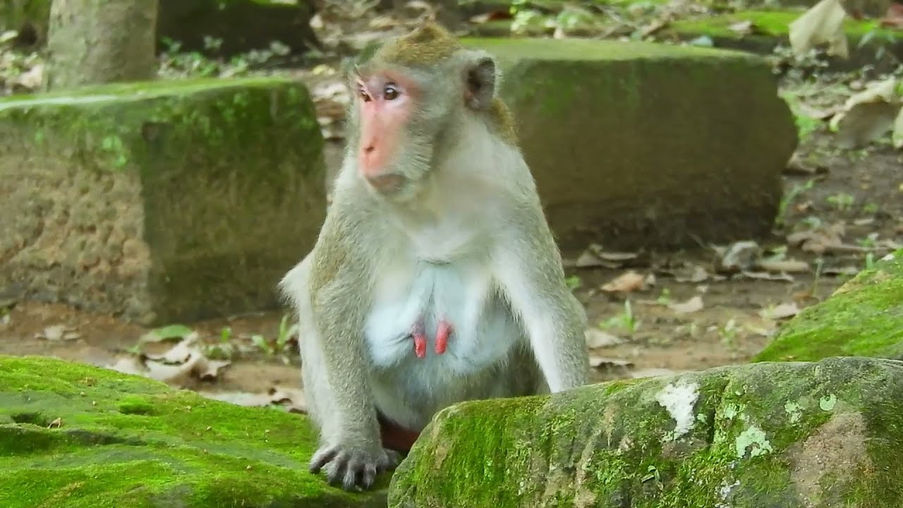 Download Monkey Mating Is Very Best, To Produce Their Off spring! 23