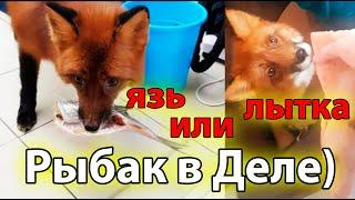 Рыбалка Лисы на Язя и Свиные Копыта что Выберет Жизнь с Лисой MIKI THE FOX