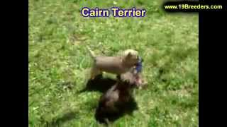 Cairn Terrier, Puppies, For, Sale, In, Oklahoma City, Oklahoma, Ok, Warr Acres, Guthrie, Weatherford