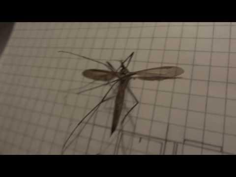 Комар гигант - Долгоножка