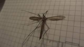 Комар гигант - Долгоножка(, 2016-08-30T01:05:15.000Z)