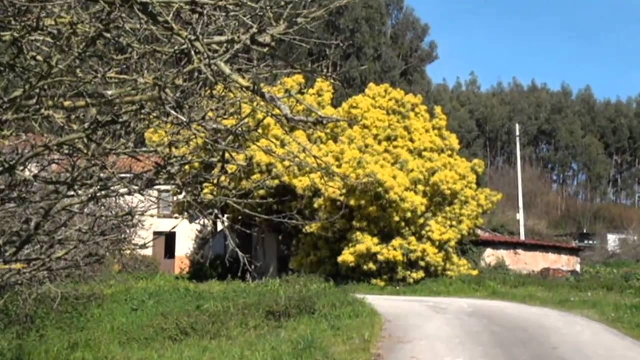 Nature Mimosas En Flor árbol Acacia Dealbata Youtube