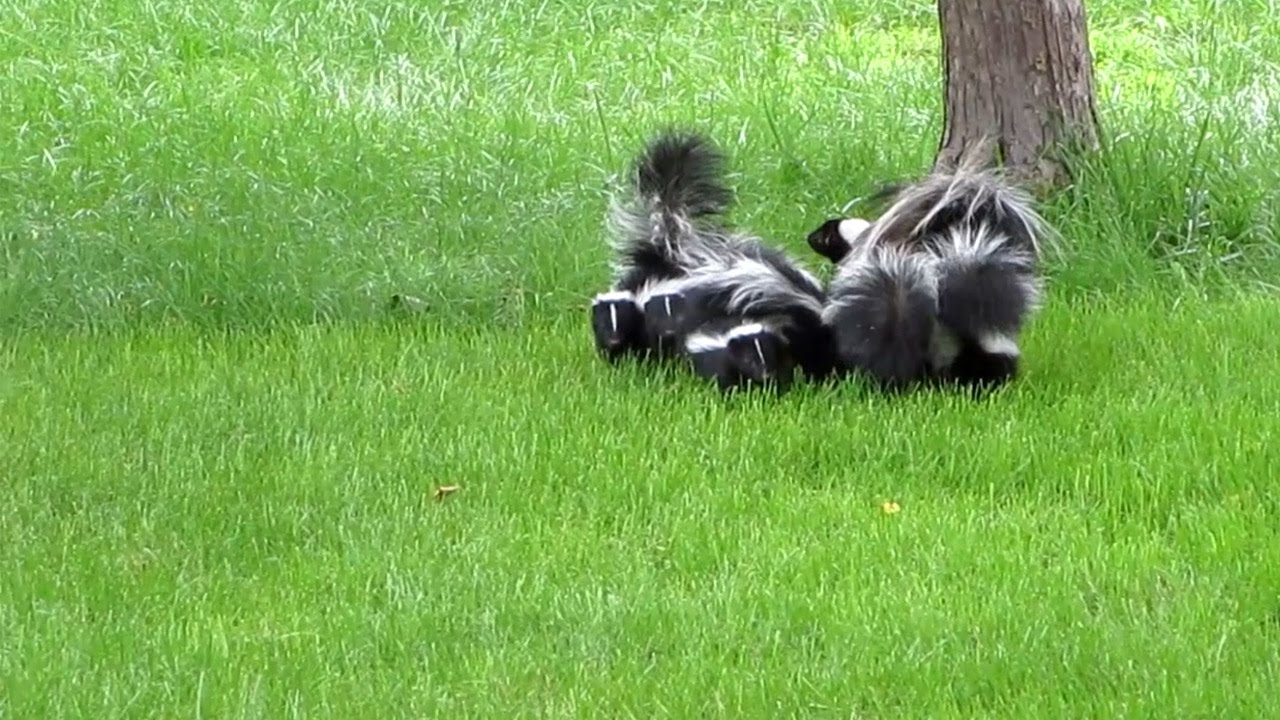 7 baby skunks in training youtube