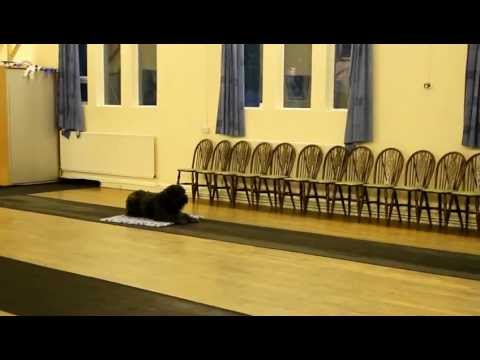 (Paddy) Bouvier des Flandres Send Away Exercise