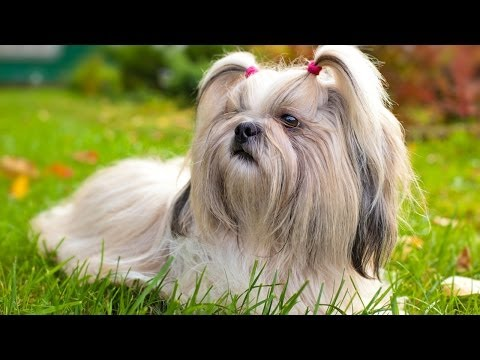 shih-tzu-puppies-for-sale-at-petsyoulike