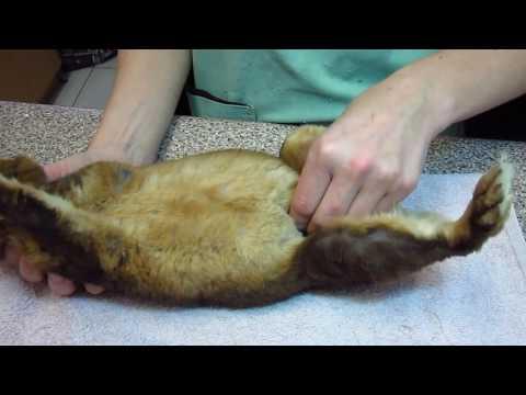 Определение беременности у крольчихи