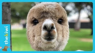 Meet the most adorable alpaca