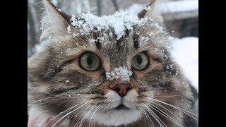 Суровые сибирские коты играют в снегу