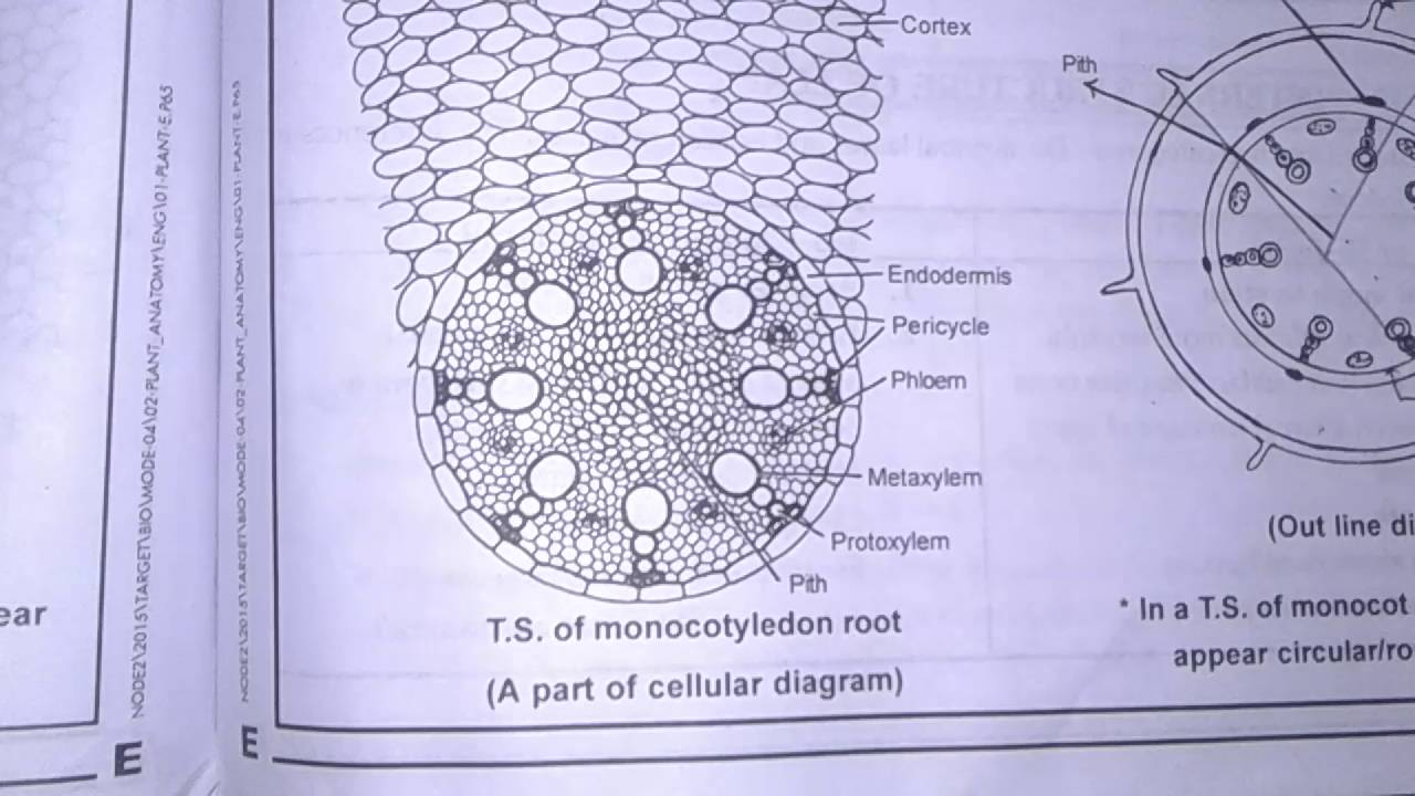 T. S. Of Monocot Root By Praatibaa ( Part -1) - YouTube