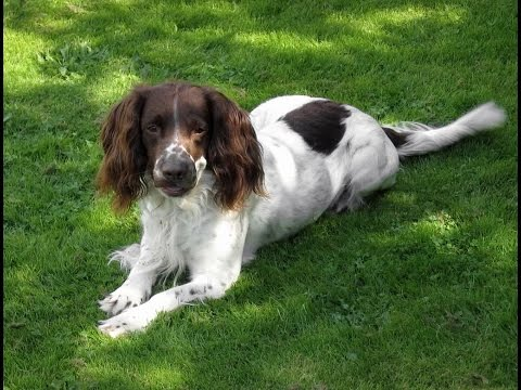 English Springer Spaniel Dog Breed | English Springer Spaniel Dog Breed  Guide