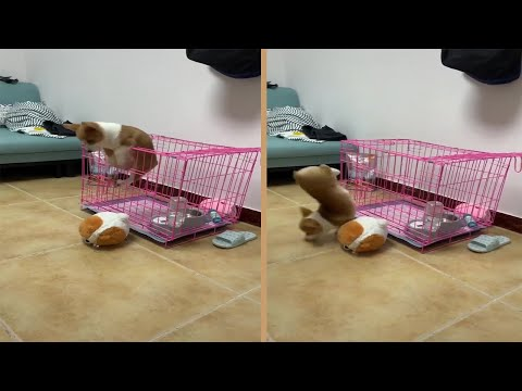 Corgi Puppy Escapes Cage | Corgi Dog Escape Artist