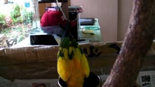 2012/9/2日台東熱氣球嘉年華探視龍谷茶行的鸚鵡基哩咕。