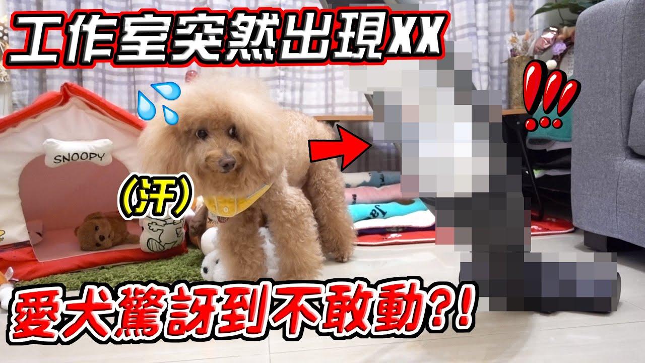 工作室突然出現狗狗的OO,連愛犬都驚豔【希露弟弟啃雞腿】比熊 貴賓 Bichon Frise Poodle