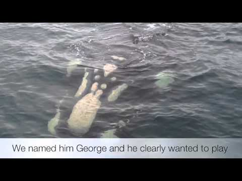 """Meet """"George"""" the Friendly Southern Right whale"""