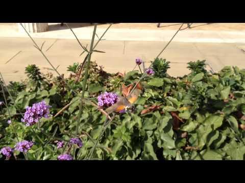 Hummingbird Hawk-moth on Verbena at Downing College