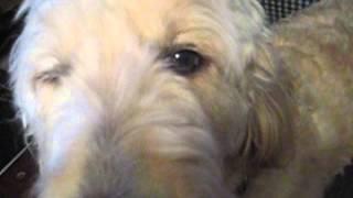 Golden Doodle Dakota Look At Third Eyelid Yuck Video 3