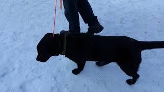 Дрессировочная амуниция для собак. Ринговка.
