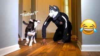 My Puppy Reaction To Husky Mask | Funny Prank