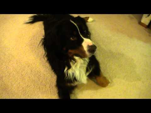 Bo - Our Bernese Mt. Dog - Tricks