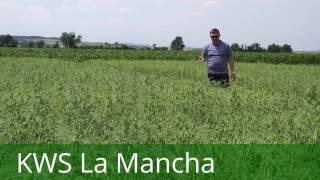 Groch siewny KWS La Mancha: konsumpcyjna jakość ze słabszych stanowisk