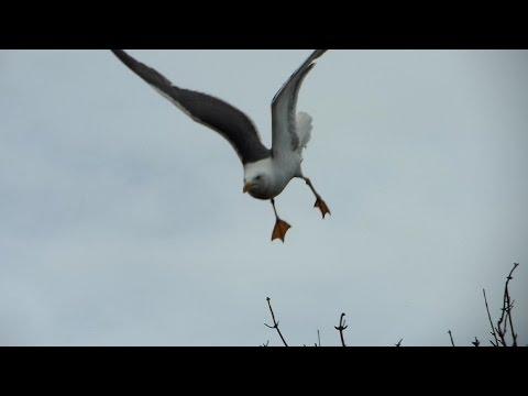 When Seagulls ATTACK