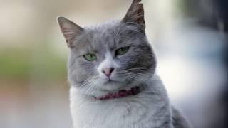 Город кошек: персонаж Думан (Документальный/ США, Турция/ 6+/ в кино с 30 ноября 2017)