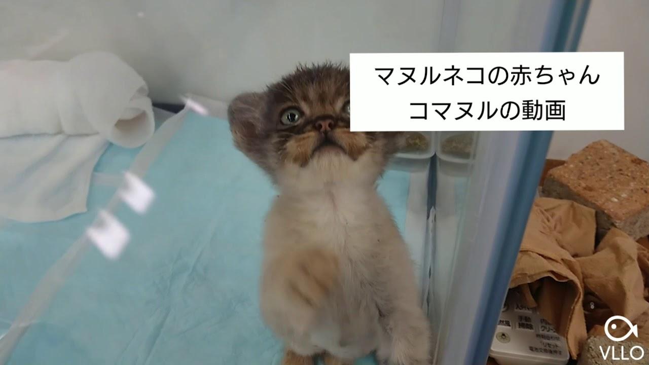 赤ちゃん マヌルネコ