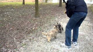 Cairn Terriers  Rhana & Lycka Racing  With A Ball.....