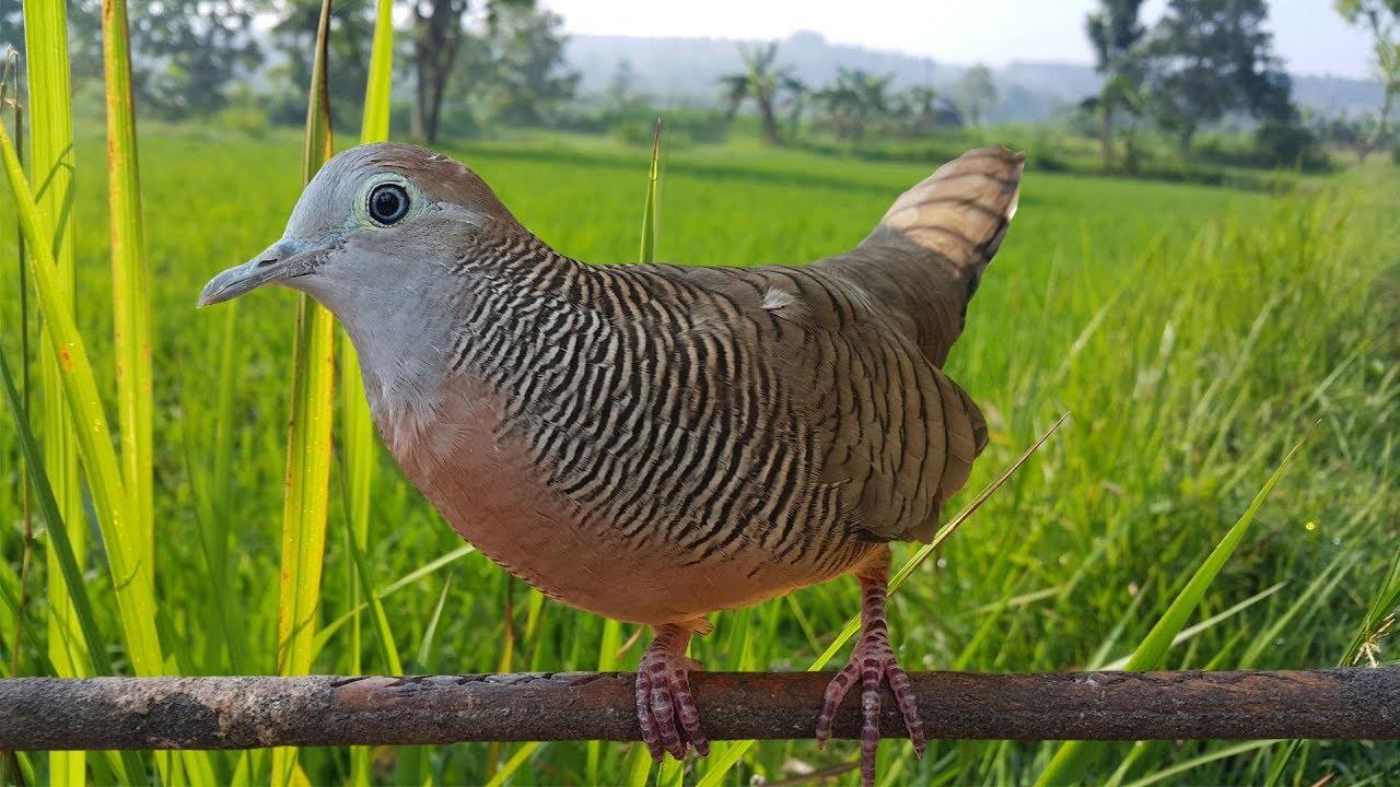 Sangat Ampuh Suara Perkutut Lokal Paling Bagus Untuk Pancingan By Burung Kicau Indonesia