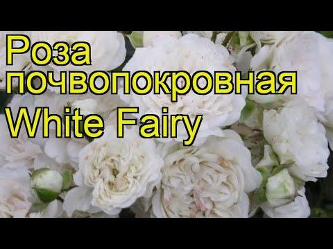 Роза почвопокровная вайт фейри. Краткий обзор, описание характеристик White Fairy