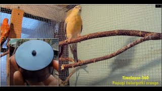 Odc-839.Timelapse  Myrmica 360TL test,jak działa itd,papugi świergotki orange.Co dalej z tym?