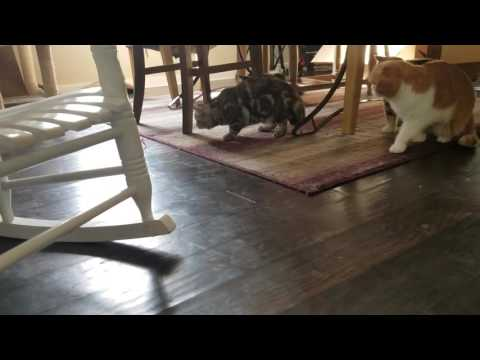 Wunderfolds Scottish fold cats playing with hex bug