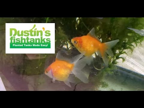 How to keep pearl scale goldfish species sunday youtube for Dustins fish tanks