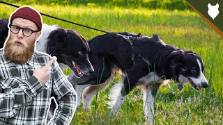 How To STOP Your BORDER COLLIE PULLING ON WALKS