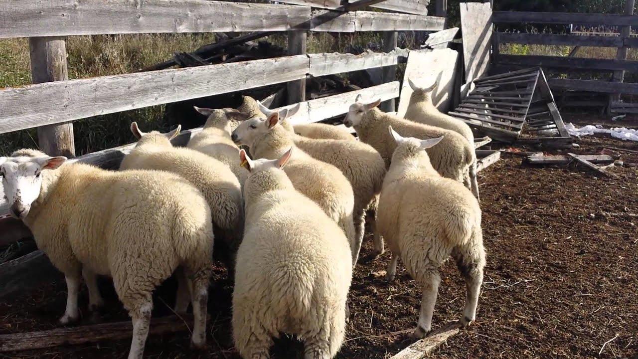 elevage de mouton en cote d ivoire pdf