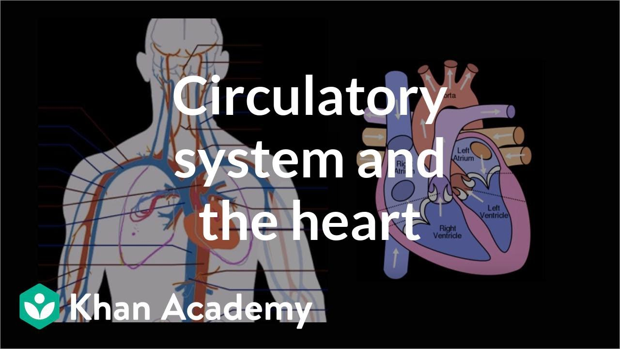 medium resolution of Circulatory system and the heart (video)   Khan Academy