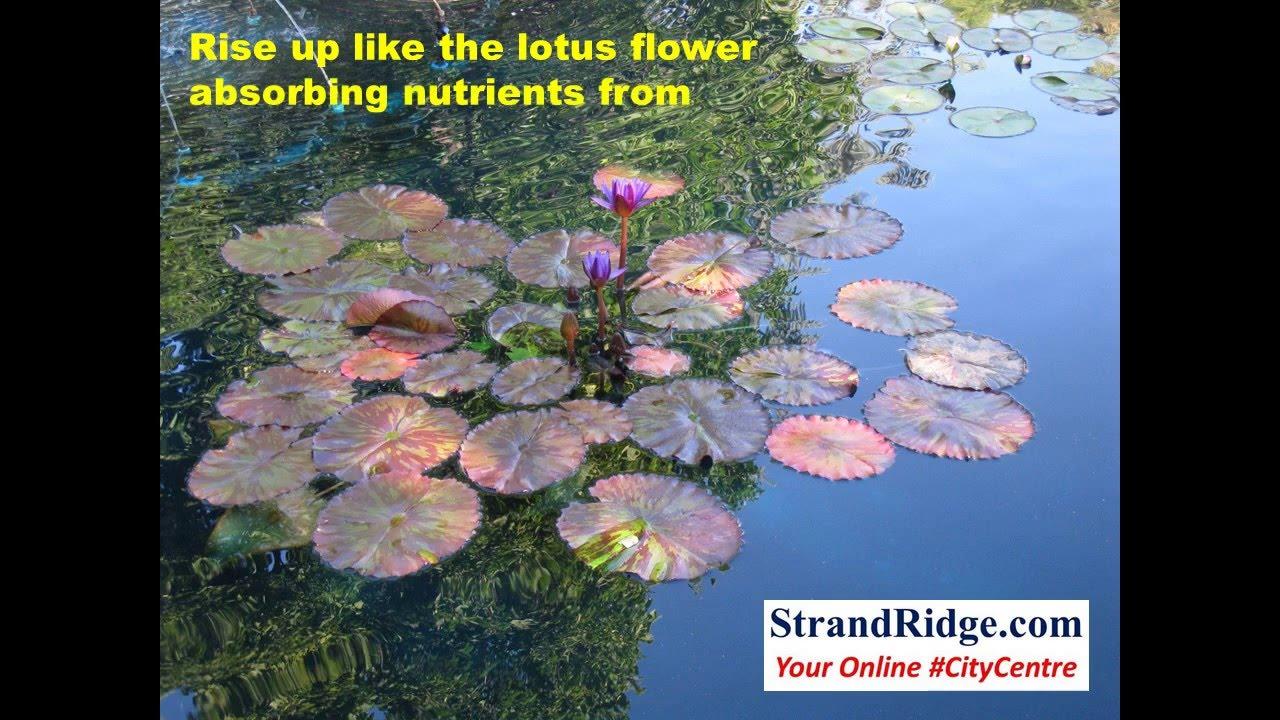 Rise like a lotus flower youtube rise like a lotus flower izmirmasajfo