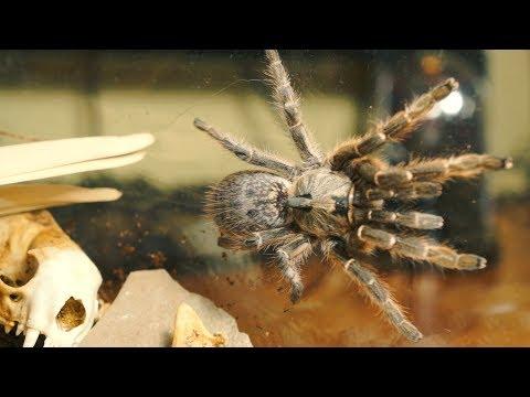DOROSŁA samica Ceratogyrus darlingi dostała nowe szkło!!