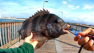 Pier Fishing for Monster Sheepshead (New PB)