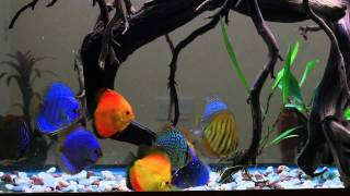 Discus Tank - 120g - August 27, 2011