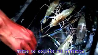 Fishing shrimp by worm bait  [ বড়শি দিয়ে নদীতে বড় চিংড়ী ধরার দারুন কৌশল ]