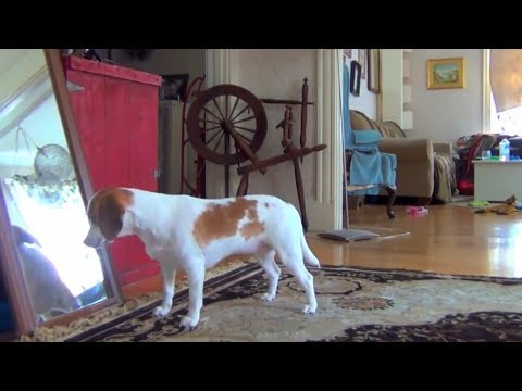 Dogs vs. Mirrors 🐶 Funny Dogs Reaction With Mirrors (Part 2) [Funny Pets]