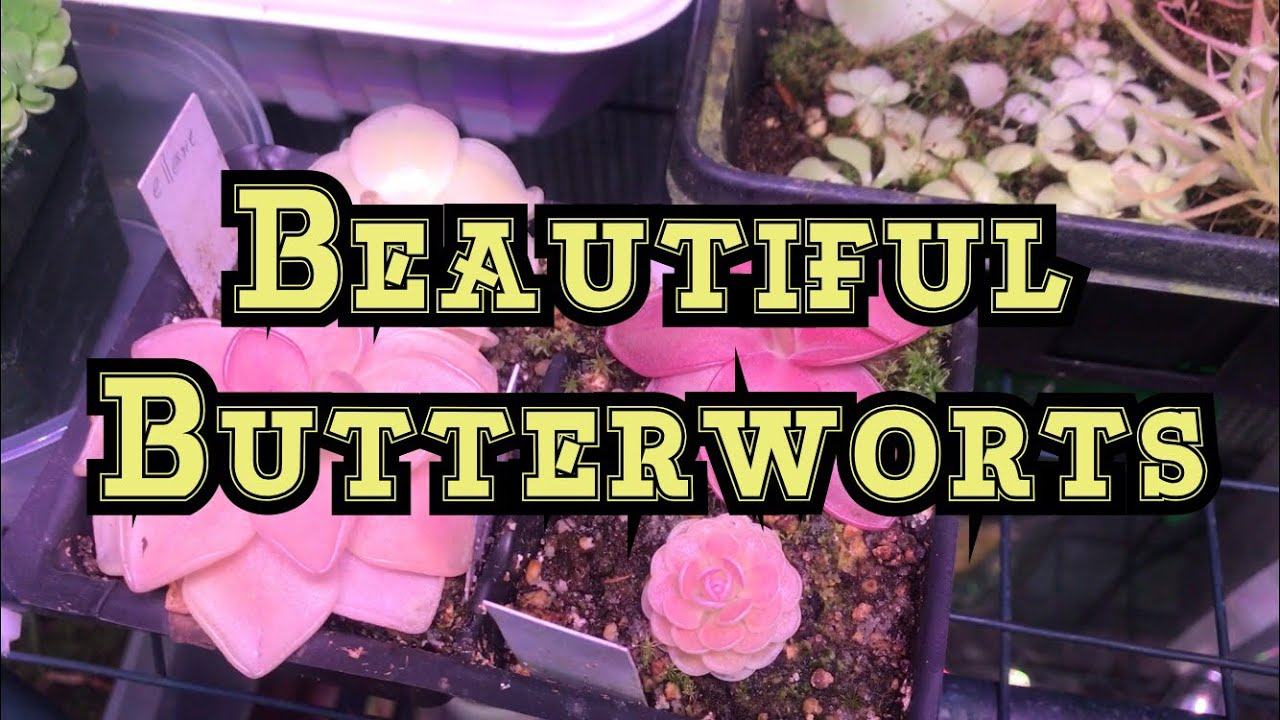 76a4075c7a How to Get stunning in your Pingucula Carnivorous Butterworts w  A  MarsHydro LED light