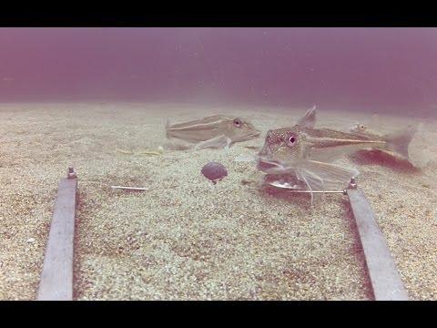gopro-underwater-fishing-(167ft-deep),-shetland.