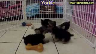 Yorkshire Terrier, Puppies For Sale, In, Nashville, Tennessee, Tn, County, 19breeders, Knoxville