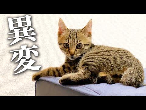 【どうした】捨て猫クイルに突然異変が…!!どうしたらいいんだ…