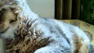 Selkirk rex Kittens 8.avi